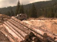 Marea defrisare, partea 3. Cum functioneaza mafia lemnului. Silvicultorii si-au dat mana cu politicienii si impreuna au distrus padurile Romaniei