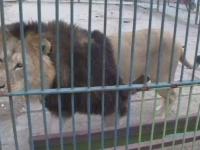 Femeie din Dambovita, in stare grava la spital dupa ce ar fi fost muscata de lei. Ale cui sunt animalele salbatice