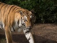 Îngrijitoarea unei grădini zoologice, atacată de un tigru siberian. FOTO