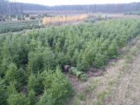 Romsilva scoate la vânzare 83.000 de brazi și molizi pentru Crăciun. Prețurile la care se vor vinde