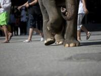Un elefant faimos și-a ucis posesorul, după ce acesta îl eliberase din lanțuri