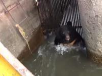 Cum a fost salvat un urs rămas blocat într-o gură de canal