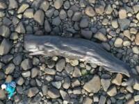 O balenă moartă a fost găsită pe o plajă din Țara Galilor. Ce avea în stomac