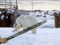 Momentul în care un bărbat pune pe fugă un urs polar. VIDEO