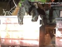 Momentul în care un urs plinuț rămâne blocat într-o pubelă. VIDEO
