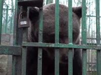 """Povestea lui Roxi, ursoaica ținută 12 ani după gratii: """"Îmi pare rău că pleacă"""""""