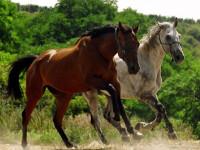 Incredibil! Caii fara stapan vor ajunge salam