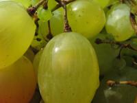 Insetat de bani, Guvernul cauta 100mil. de euro la micii producatori de vin