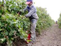 Productie record de struguri in Romania. Viticultorii sustin ca vom avea vin de calitate superioara