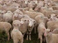 Stana transformata in abator! Zeci de oi, macelarite de o haita de lupi