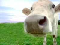 Vaca cu cinci picioare face turul Indiei. Cum arata animalul pe care multi il considera sfant
