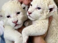 Sunt pufosi si rari in lume! Doi pui de leu alb, la Zoo din Belgrad
