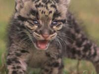 Henry si Ateri, doi pui de leopard de zapada, ce atrag turistii la zoo