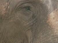 Tania, singurul elefant tinut intr-o gradina zoologica din Romania, a incercat sa evadeze