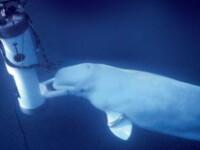 O balena a invatat sa vorbeasca pentru a contacta oamenii. Ce inregistrari au publicat cercetatorii