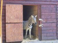 Zebra de la Gradina Zoologica din Timisoara a murit dupa ce s-a aruncat intr-un helesteu