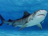 Captura impresionanta pentru pescarii din SUA. Ce au facut cu rechinul de 367 de kilograme pe care l-au prins