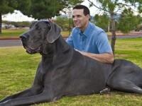 Gigantul George, cel mai inalt caine din lume a murit la varsta de 8 ani