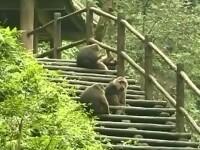 Maimutele din sud-vestul Chinei fura mancare turistilor. Cine le calmeaza atunci cand devin agresive