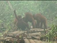 Incendiile de padure din Indonezia ameninta o intreaga specie. Norul toxic de fum a ajuns pana in tarile vecine