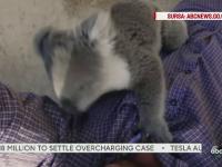 Imagini adorabile cu un pui de urs koala. Ce a facut animalutul cand a fost mutat intr-un nou tarc, la gradina zoologica