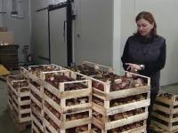 Producatorii romani trimit tone intregi de hribi in Europa. Cat platesc strainii pentru ciupercile crescute in Romania