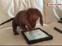 Cum reactioneaza un catel atunci cand vede pe tableta stapanului un joc creat special pentru un patruped