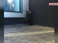 Operatiunea de salvare a puiului de urs care s-a pierdut prin Brasov. Haituit de caini, a fost gasit in fata unui magazin