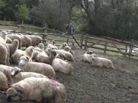 Zeci de oi din Alba, sfasiate de o haita de lupi. La cat se ridica paguba ciobanilor