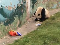 Urs panda,