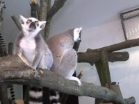 11 lemurieni vor putea fi vazuti in curand, la gradina zoologica din Targu Mures. Tot acolo a ajuns si un superb papagal Ara