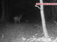 Haită de lupi, surprinsă în Parcul Național Semenic. Specialiști: mențin un echilibru ecologic
