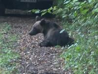 Pui de urs, tranchilizat după ce a apărut într-o stațiune, pentru a mânca ghinde