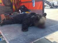 Pui de urs,mort după ce a fost lovit de două mașini pe A1. Își căuta mama