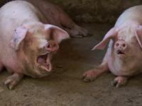 Cum au ajuns chinezii să scumpească carnea de porc din România. Avem cel mai mare preţ din UE