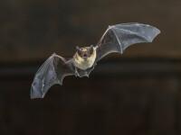 Un virus înrudit cu SARS-CoV-2, descoperit în Marea Britanie la lilieci
