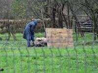 Inspectorii au intrat în gospodăria unui bărbat și i-au sacrificat porcii. De unde îi luase