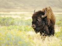 A fost dusă de iubitul ei în parcul unde el a fost atacat de bizon. Ce a pățit fata