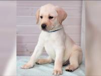 Pățania unei tinere care a cumpărat mai ieftin un labrador de pe internet