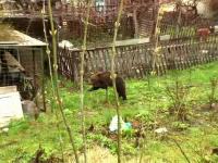 Cioban sfâșiat de un urs. Cum a fost găsit de polițiști