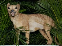 O creatură care ar fi dispărut în urmă cu zeci de ani, zărită de australieni în zone locuite