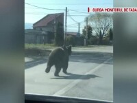Panică într-o localitate din județul Brașov. Un urs a atacat 2 copii și un bărbat
