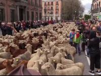 """Reacția localnicilor când au văzut sute de oi pe străzile din Madrid. """"Îmi plac animalele"""""""