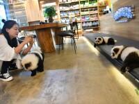 """Câini vopsiți pentru a arăta ca """"urșii panda"""", într-o cafenea din China"""