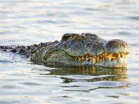 Crocodil împușcat mortal, după ce a atacat o îngrijitoare. Ce încerca să facă femeia