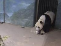 Reacția unei ursoaice când a văzut că puiul ei născut recent nu poate să meargă singur