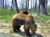Inca un episod cu ursii cersetori a avut loc la Sinaia