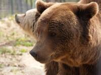 Ursoaica ucigasa,