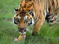 Madonna si Tiger Woods au devenit parinti!