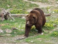 Locuitorii unei comune din Dambovita, vizitati noapte de noapte de ursi!